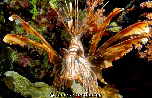 Lionfish on night dive by James Oosthuizen 